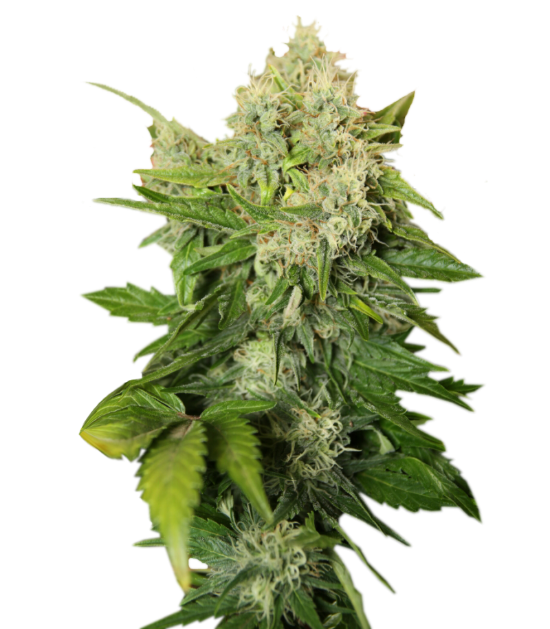Cannabis PNG Image - PurePNG | Free transparent CC0 PNG ...