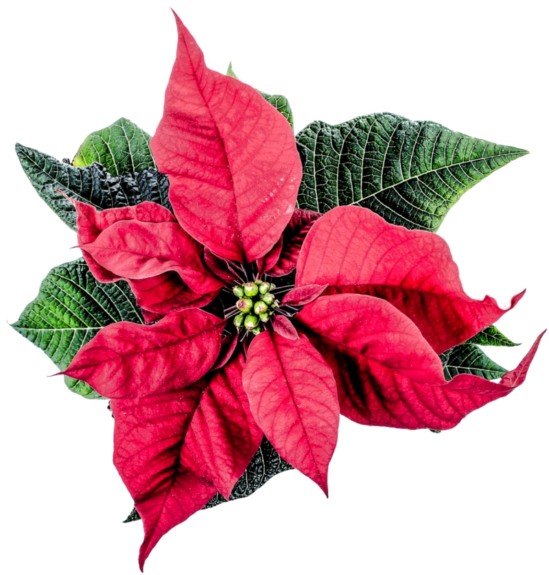 Christmas Poinsettia Flower PNG Image