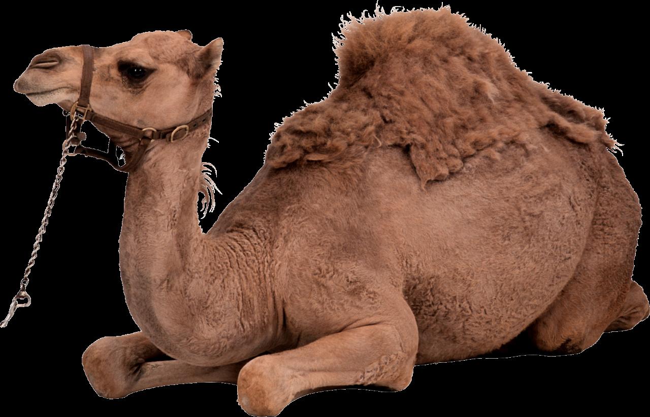 Desert Camel Sitting PNG Image