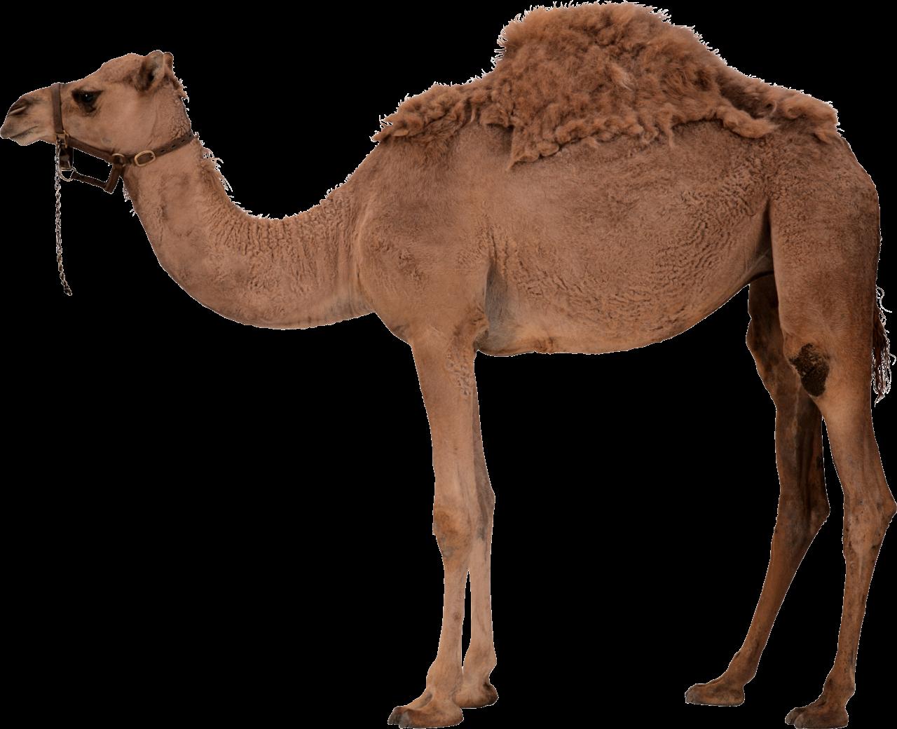 Desert Camel Standing PNG Image