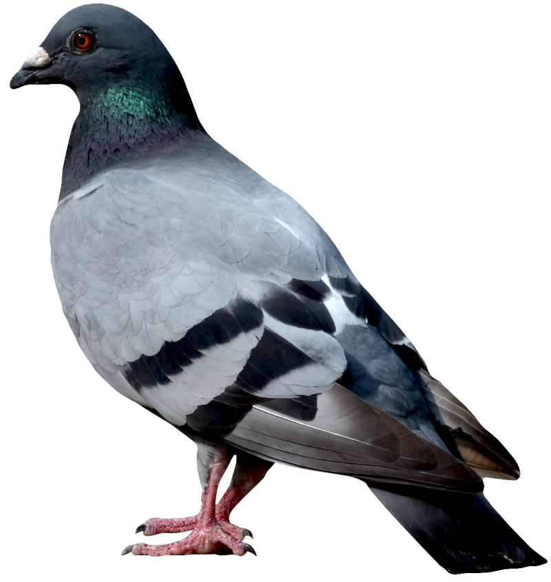Dove PNG Image