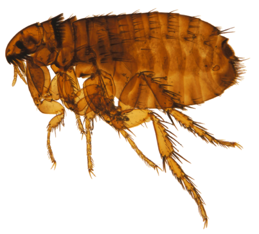 Flea PNG Image