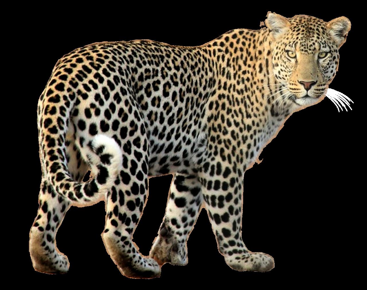 Leopard Walking PNG Image