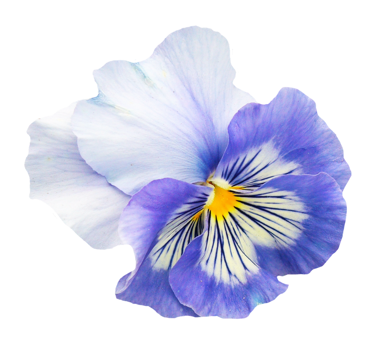 Pansy Flower PNG Image