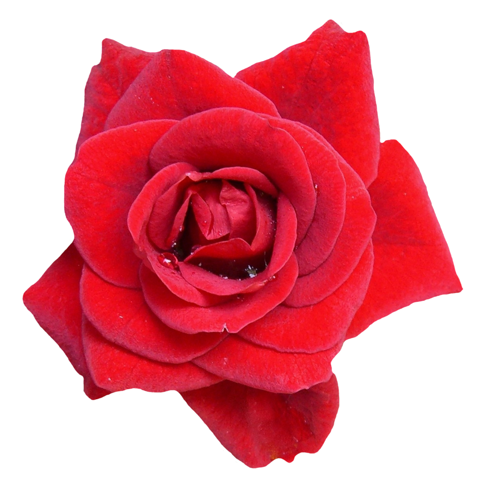 Red Rose Flower PNG Image