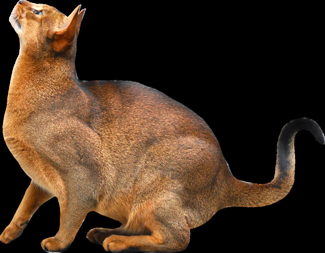 Sitting Cat PNG Image