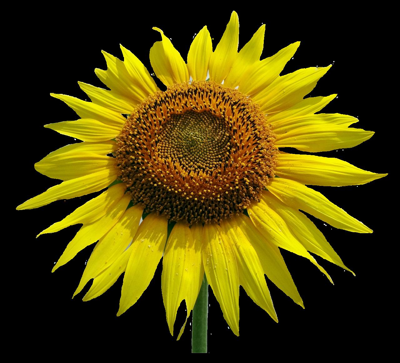 Sunflower Flower PNG Image