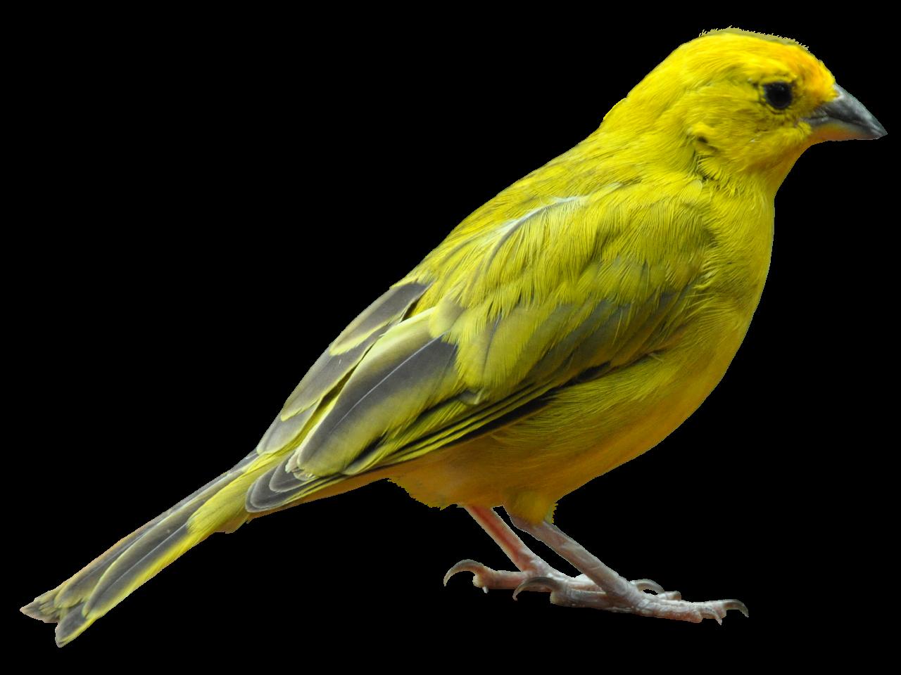 Yellow Bird Standing PNG Image