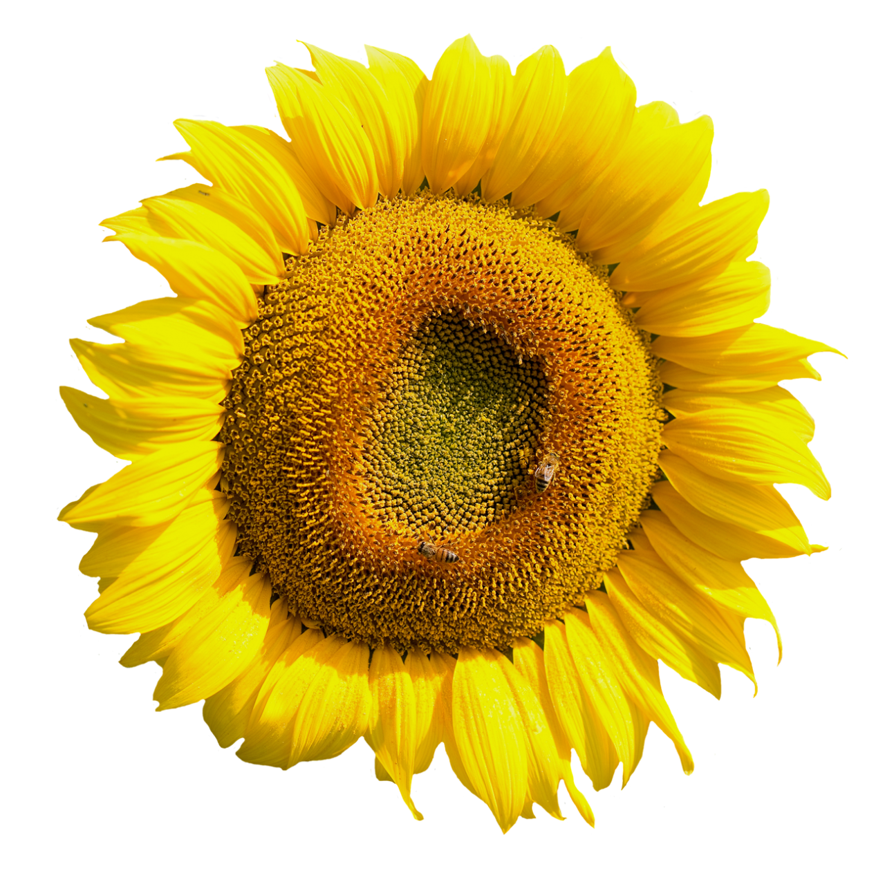 Yellow Sunflower Flower PNG Image