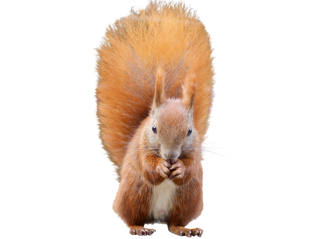 Squirrel PNG Image