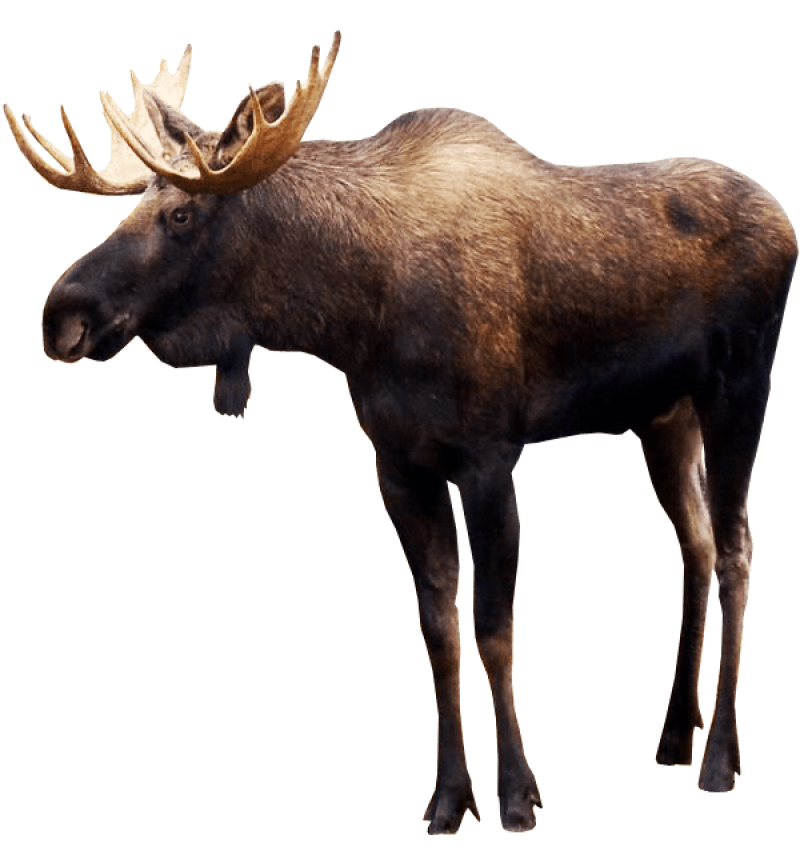 Standing Elk PNG Image