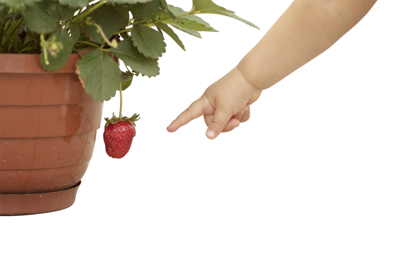 Potted Strawberry Plant with Fruit PNG Image