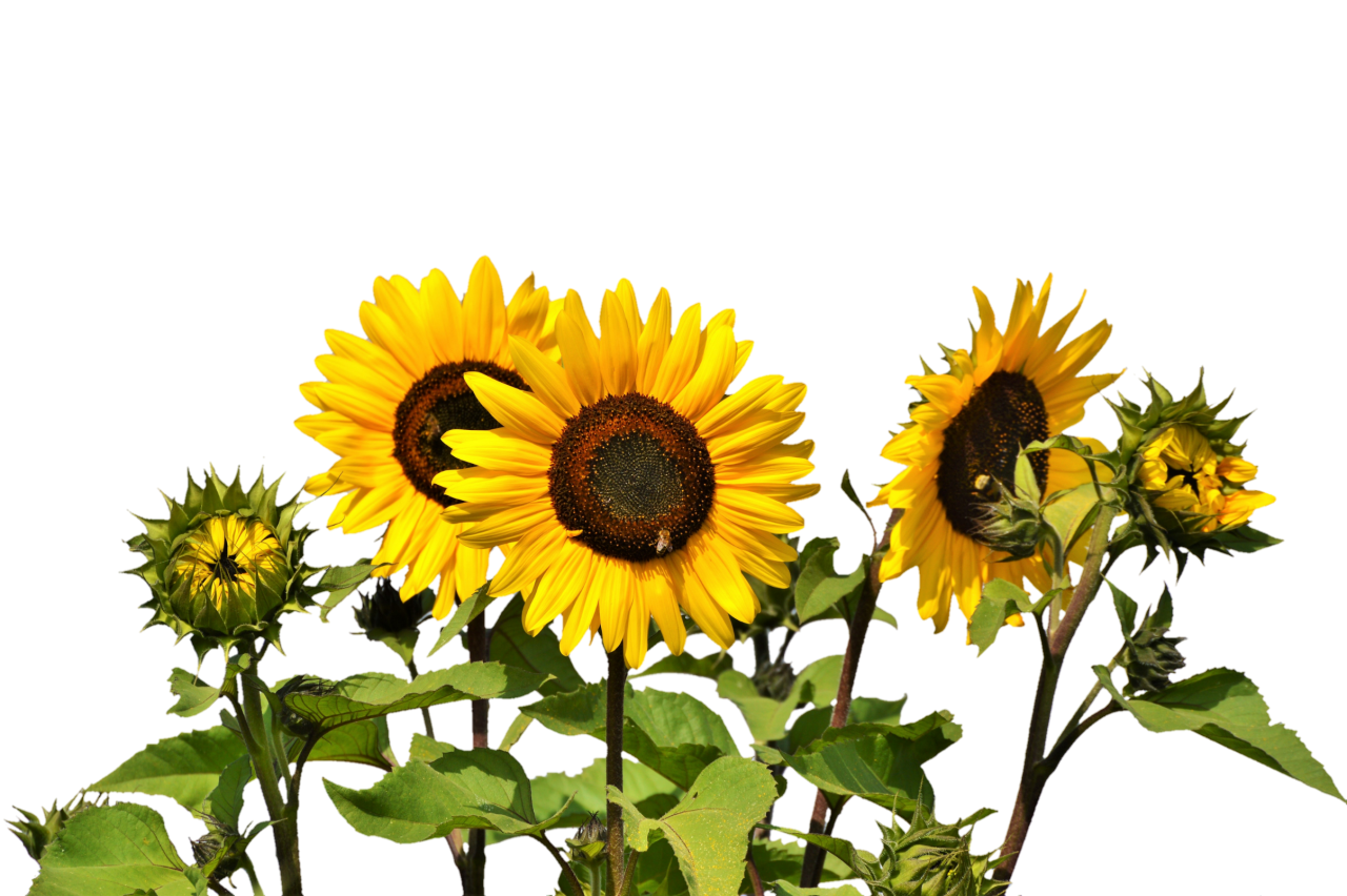 Sunflowers PNG Image
