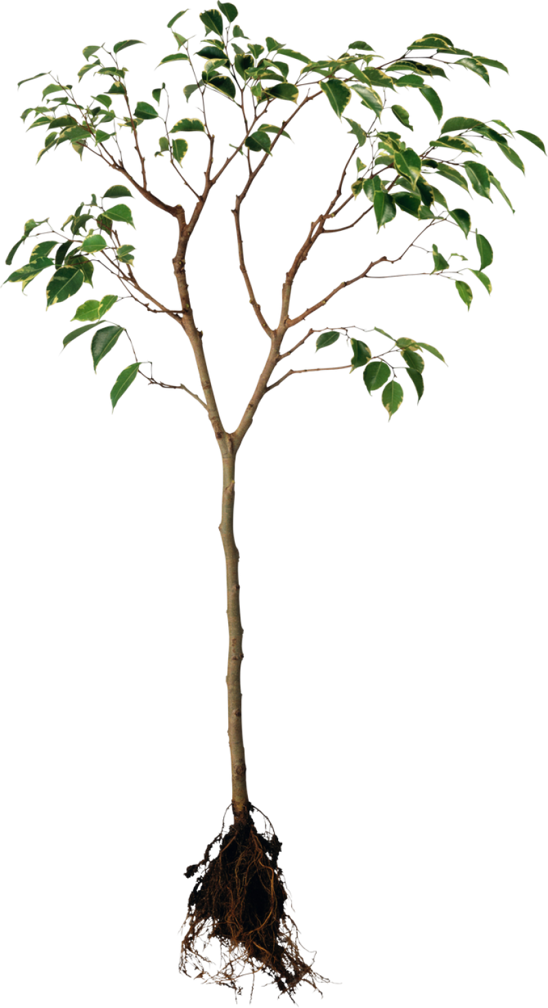 Tree with Root PNG Image