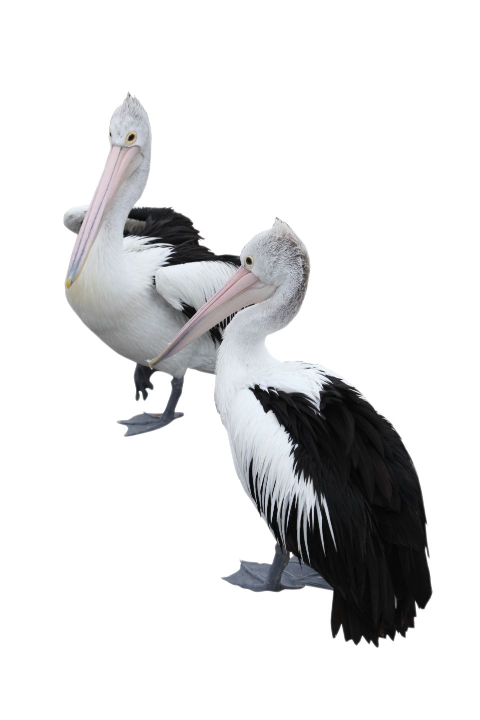 Two Pelicans PNG Image