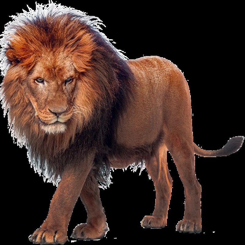 Walking Lion PNG Image