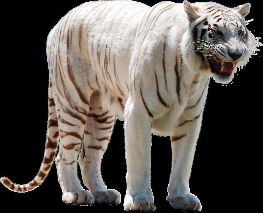 White Tiger PNG Image