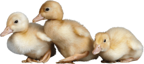 3 little cute ducklings PNG