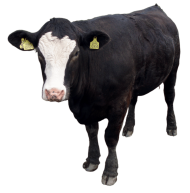 Black cow PNG