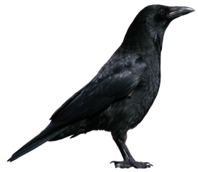 7-crow-png-image PNG