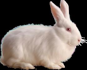 Albino Rabbit PNG