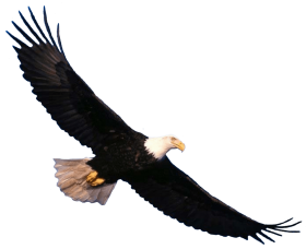 Bald Eagle flying PNG