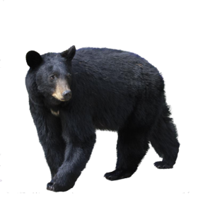Black Bear PNG