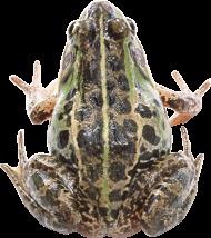 black frog PNG