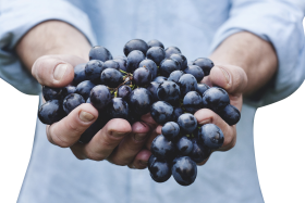 Black Grapes in Hands PNG