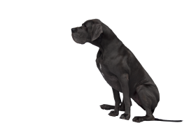 Black Great Dane PNG