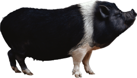 Black pig from side PNG