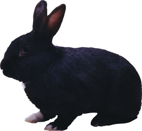 black rabbit PNG
