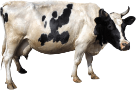 black white cow from side PNG