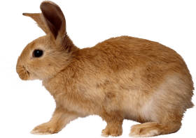 blonde rabbit walking from side PNG
