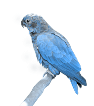 blue parrot sitting PNG
