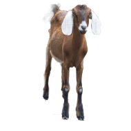 Brown Goat PNG