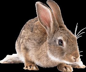 brown rabbit PNG