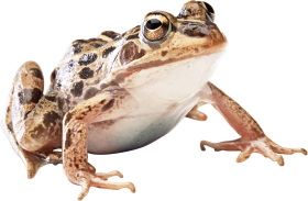 brown toad PNG