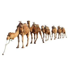camel By kasirun Hasibuan PNG