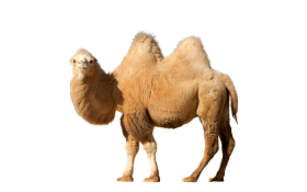Camel lookin to side PNG