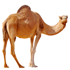 Camel  On Desert PNG