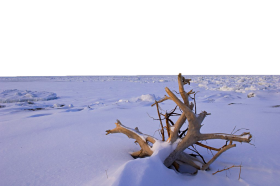 Dried Shrub Sticking out in the Snow PNG