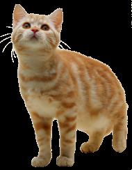Cat PNG PNG
