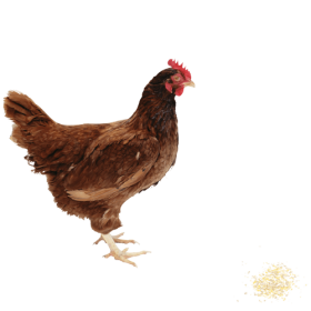 Chicken PNG