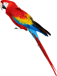 colorful parrot standing PNG