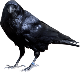 Crow looking into camera PNG
