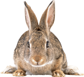 Cute brown rabbit PNG
