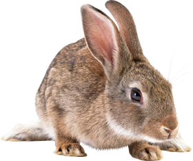 Cute brown rabbit PNG