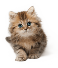 Cute Cat Kitten PNG PNG