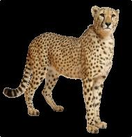 Cute Cheetah PNG